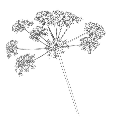 may | cow parsley