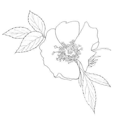 june | dog rose
